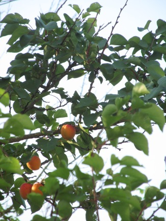A view of apricots just a few feet from my bedroom balcony